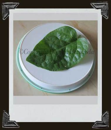 Photograph of giant spinach leaf fertilized by organic fertilizer